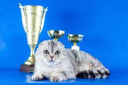 Перспективный кот (окраса шиншилла) приглашает на вязку