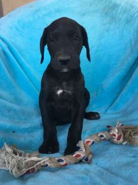 Registered Great Dane Puppy for sale