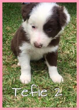 Brown and white Border Collies