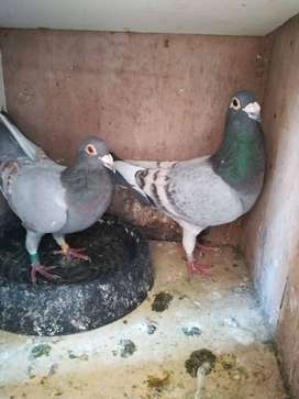 rare colour racing pigeons