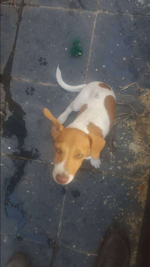 Jack Russell female pups for sale 0