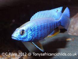 Sciaenochromis fryeri Хаплохромис васильковый Аквариумные рыбки Малави