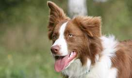 I i'm LOOKING for a BORDER COLLIE FEMALE
