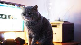 Прямовухий шотландський, скотіш страйт, кіт,вязка