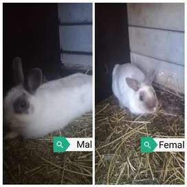 Netherland dwarf rabbits breeding pair