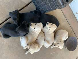 Labrador Puppys for sale