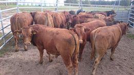 Byczki mięsne, opasy odsadki limousine limuze, krzyżówki 200-300kg