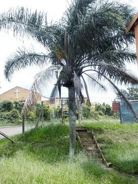 Palm-tree For Sale