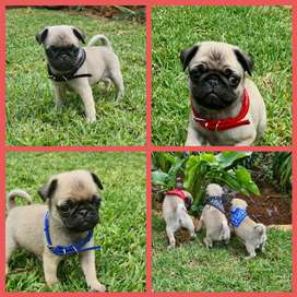 Fawn male pug puppies.