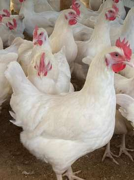 500 Hyline Silver point of lay hens