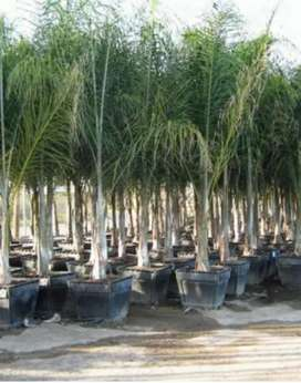 COCOA PALM TREES AVAILABLE