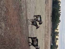 Stud Goats for sale