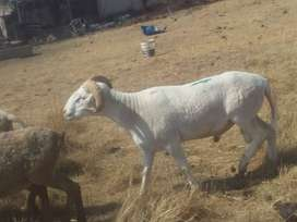 7 sheep for sale