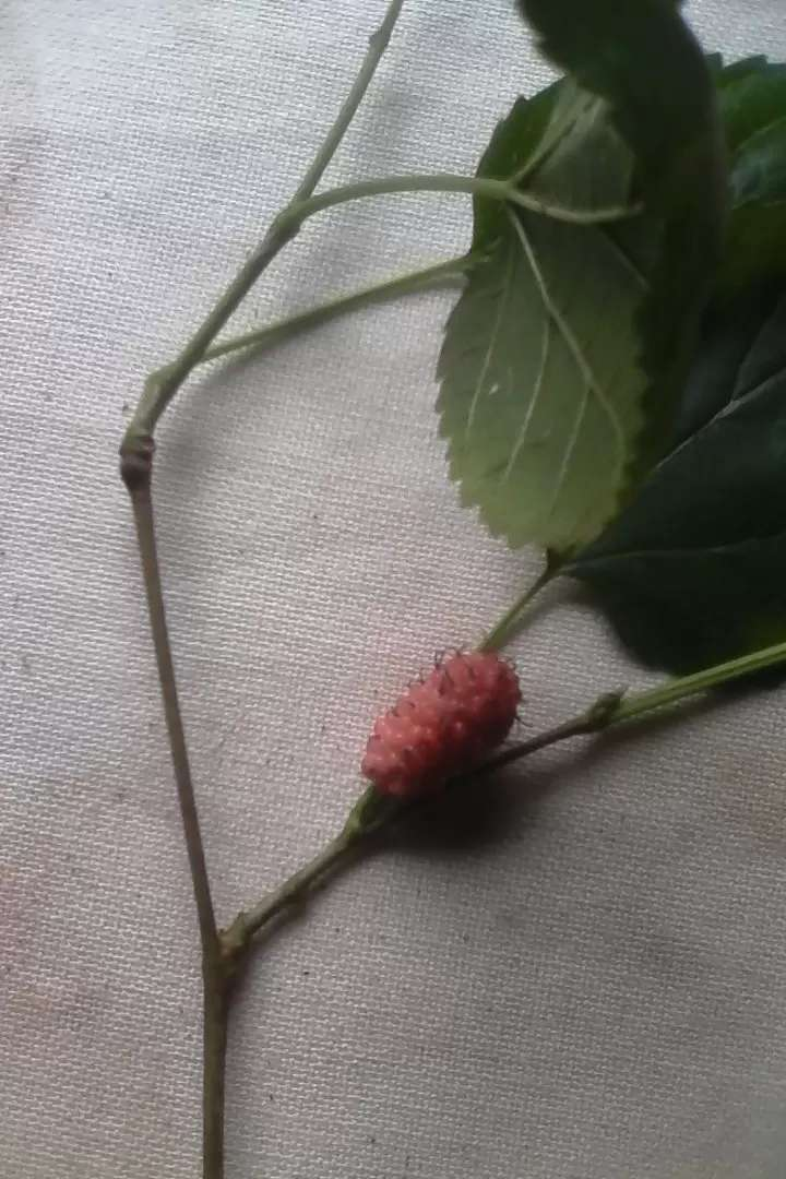 Mulberry cuttings 0