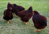 Image of Rhode Island red at their point of lay for sale