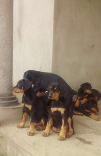 Image of Doberman puppies for sale