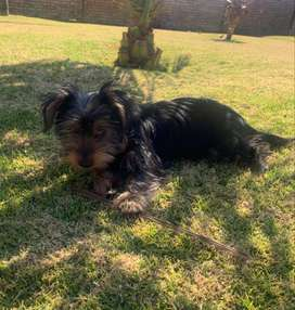 Adorable Male Yorky Puppy for sale