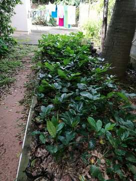 Forest Mahogany trees for sale