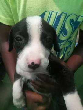 3 Puppies to buy
