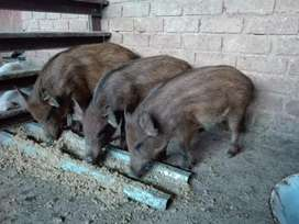 Nutrision Bush Pigs,feeds