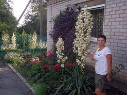 саженцы юки двух -трех летние
