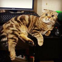 Вислоухий фолд кот вязка , Шотландский мраморный (кот , вислоухий )