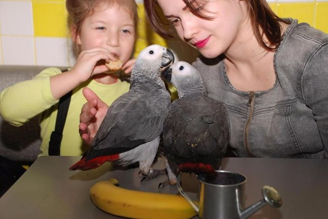 птица говорун -Жакун, Жако алохвостый африканец Киев - изображение 2