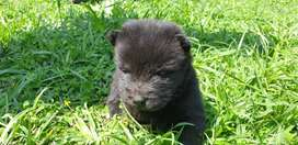 Pure Bred Chow Chow Pup for sale- 8 weeks old