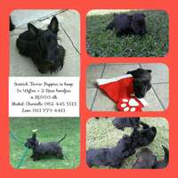 Image of Beautifull Scottich Terrier puppies for sale.