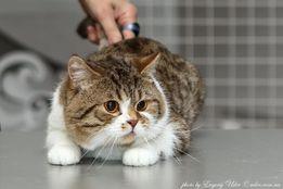 Шотландский кот приглашает на вязку!