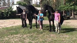 Фризские лошади большой выбор в наличии