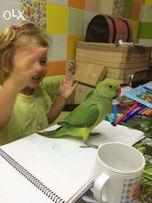 Повністю ручний годованець - зелений ожереловий папуга