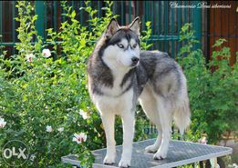 Сибирский хаски голубоглазый чёрно-белый