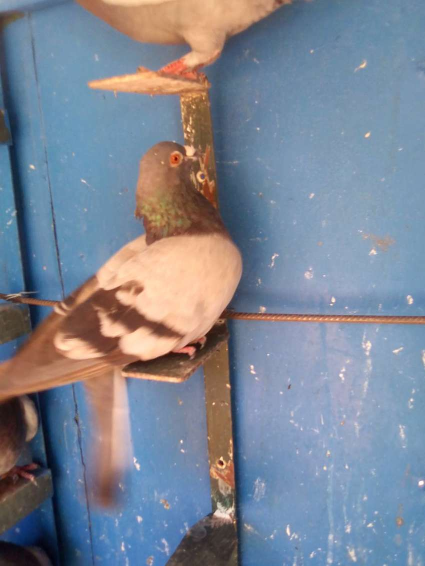 Homing pigeons for sale 0