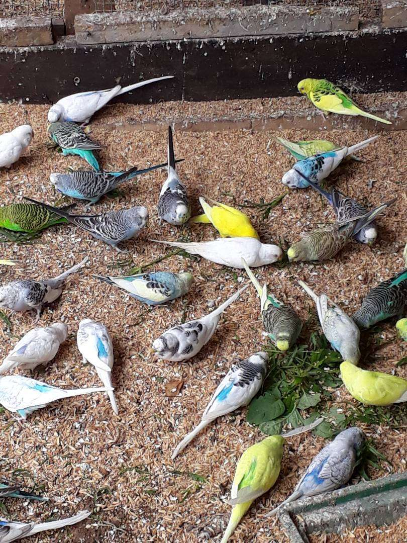 Budgies for sale 0