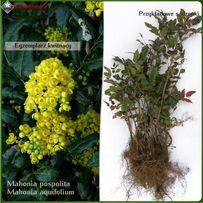 Mahonia pospolita - sadzonki 25-50 cm - Wysyłamy kurierem