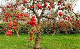 Обрезка плодоносных деревьев и винограда, услуги садовника