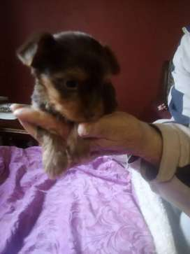York puppies for sale