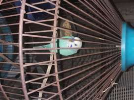 Show budgie with cage