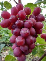 Саженцы винограда. Опт и розница.Саженцы от 25гр.Черенки от 10гр.