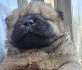 purebred Chow puppies for sale