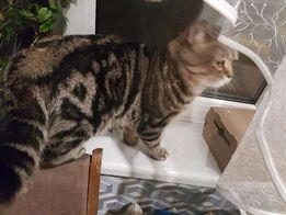 Хочу жениться, шотландский кот окраса черный мрамор на золоте