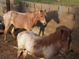 Welsh Ponies For Sale