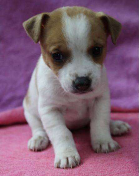 Jack Russell Puppies 0