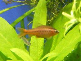 GB Brzanka Titteya (wysmukła) ryba akwariowa