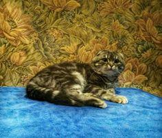 Шотландский,мраморный кот приглашает на вязку.