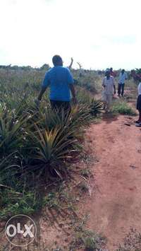 Malindi shamba for pineapple growing for sale at ksh 20,000 per acre. 0