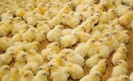 Добові курчата Бройлера