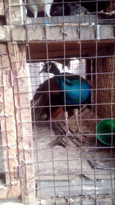 Peacock for sale 8month old 0