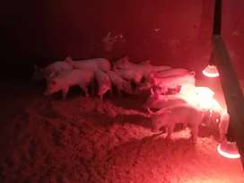 Piglets for sale450